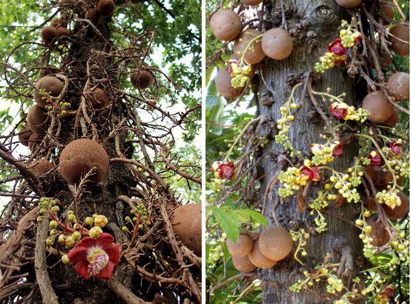 бразильский орех как растёт