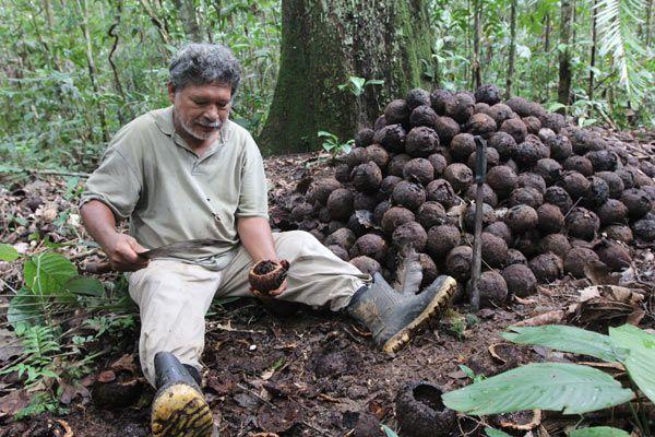 бразильский орех как собирают